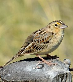 Grasshopper sparrows breed commonly in the Nebraska grasslands. The song, a thin buzz, sounds much like a grasshopper.