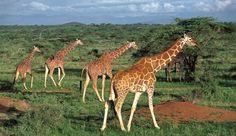 Kenya Great Migration - Kenya #Jetsetter