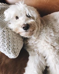 Life Lately on Instagram - Lily the Labradoodle - The Inspired Room