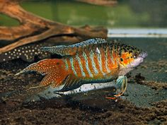 Paradise | The Paradise Fish (Macropodus opercularis) is naturally distributed in ...