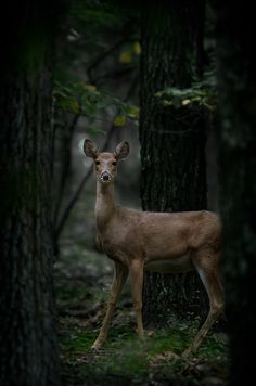 Deer by William T Hornaday