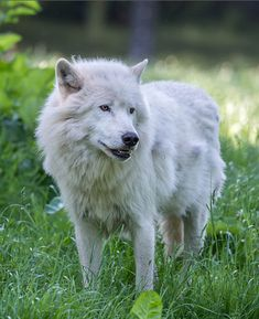 My Beautiful Artic Wolf. Let Her Be. Wild and Free.