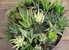 Haworthia, Adromischus, Gasteria, Aloe are all somewhat grouped together in the Haworthia collection. They prefer indirect sun  as they will burn if exposed to full sun. Succulents Canada