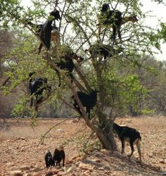 Tamri goats of western Morocco climb argan trees to feed on their nuts and leaves.