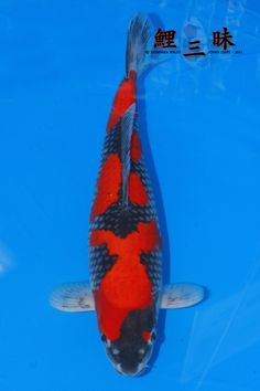 Koi Fish Pond, Koi Carp, Koi Ponds, Scary Animals, Japanese Koi, Goldfish, Hydroponics, Swimming, Awesome
