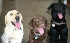 labrador retriever dogs - Google Search