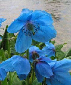 Himalayan Blue Poppy...one of my favorites