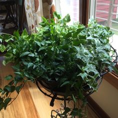 Plant Rx: 5 Tips for Raising English Ivy Indoors English Ivy Indoor, English Ivy Plant, Ivy Plant Indoor, Indoor Garden, Ivy Plants, Plant Information, Houseplants, Gardening Tips, Farms