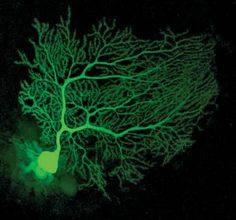 Large neuron with many branching extensions that is found in the cortex of the cerebellum of the brain and that plays a fundamental role in controlling motor movement. These cells...