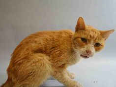 TD - A1053601 - - Manhattan  *** TO BE DESTROYED 10/08/15 *** MATURE BEGINNER CREAMSICLE IN NEED OF TLC!! TD is a 10 year old, NEUTERED guy who would like some groceries and some love!! ….A volunteer writes: A bit disheveled doesn't make him unlovable because he is still golden orange as the shinning sun. He is gentle and sweet and a real trooper. A skinny guy who has seen rough stuff yet he is a diamond in the raw. TD isn't a bank but a fellow who needs a loving