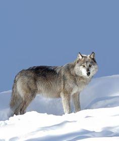 "beautiful-wildlife: ""Silver Black Wolf by © Jim Cumming """