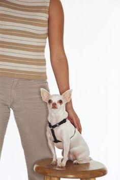 Making a Chihuahua Less Aggressive