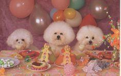 Bichon party - c348a5f6f525329a411aaf2df71cbacc.jpg (736×465)