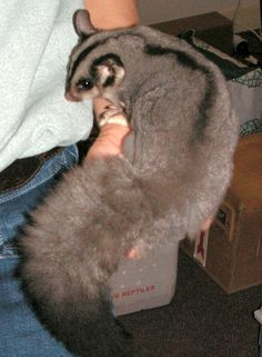 SQUIRREL GLIDER....a nocturnal gliding possum found in south-eastern Australia in the dry forests and woodlands....measures 7 to 9 inches long with a 8.5 to 13 inch tail