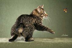 Kurilian Bobtail cat - Photograph copyright Helmi Flick A rare photograph of a rare cat! The photo is by the celebrated Helmi Flick. Rare Cats, Cats And Kittens, Manx Cat, Bobtail Cat, Sphinx Cat, Pusheen Cat, Catus, Majestic Animals, Cat Breeds