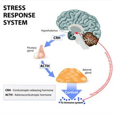 Dr. Doni Wilson, N.D. has found that addressing all stress in the modern world comes down to addressing a vicious cycle of three problem networks: Leaky gut Blood sugar imbalances Adrenal distress #cortisolandstress Pituitary Gland, Adrenal Glands, Adrenal Fatigue, Chronic Fatigue, Endocrine Hormones, Adrenal Stress, Adrenal Cortex, Chronic Illness, Stress Symptoms
