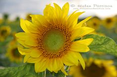 Smiling happy sunflower face