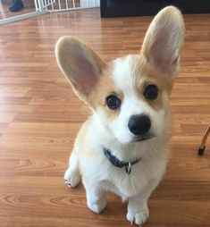 Bentley is slightly offended by people saying he has big ears #cute #dogs #dog #aww #puppy #adorable