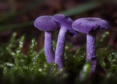 Таинственный мир грибов Аметистовый обманщик