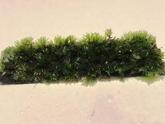 Fissidens sp. mini 7 x 2cm op matje