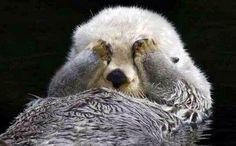 ラッコは手だけ毛がなくて冷たいから、 目に手当てて「あっ!あったかい!当てとこ!」 ってなるらしい♡ 可愛すぎ(ฅ'ω'ฅ)