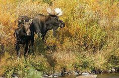 The Perfect Pair - Horizontal - Moose