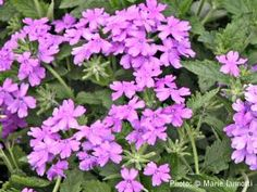 Asking annual flowers to put up with hot, baking sun, dry soil, or high humidity is no small challenge. These 12 flowers can take it all and thrive.: Verbena Plants Offer Plenty of Variety