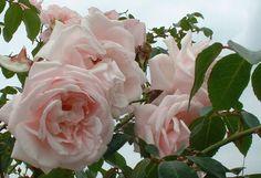 rose.new.dawn