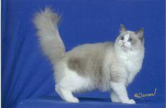 Blue Bicolor Ragdoll Cat