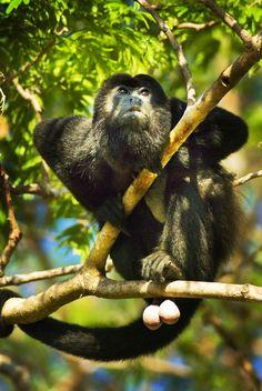 Howler Monkey in Costa Rica!