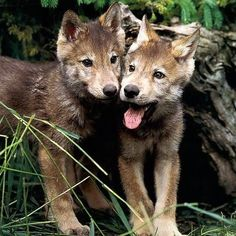 Yellowstone Wolf Pups Low Survival Rate Linked To Canine Distemper Wolf Images, Wolf Photos, Wolf Pictures, Funny Pictures, Beautiful Wolves, Animals Beautiful, Beautiful Creatures, Yellowstone Wolves, Amazing Animal Pictures