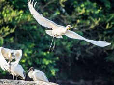A spoonbill in flight ... At the Ranganthetu Bird Sanctuary, Mysore