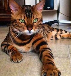 The Bengal cat is a real class act. It was originally born from the union between an Asian Leopard cat and a common domestic cat. So if you want to adopt your own miniature leopard - and one that can actually swim - a few grand of your hard earned dollars will do the trick for you.Asking price: $1,000 - $4,000