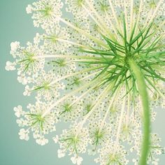 Queen Anne's Lace Art Print, Flower Photography, Sage, Green, Teal, Summer