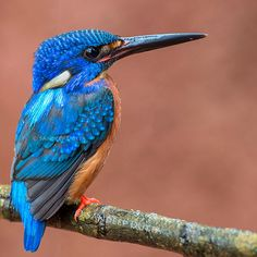 Blue Eared Kingfisher by Sandeep Dutta - Photo 80771163 - 500px