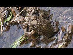 間違えて♂に抱きつくツチガエル Rana rugosa♂ - YouTube Amphibians, Fish, Pets, Youtube, Animals, Animales, Animaux, Animal Memes, Animal