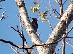 Pájaro carpintero en habitat, Valle de San Andrés, El Salvador