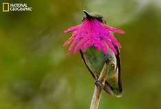 A male wine-throated hummingbird displays his gorget to attract a female in a Guatemalan cloud forest. (Photo and caption Courtesy Knut Eisermann / National Geographic Your Shot)