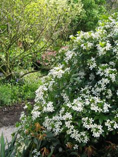 Choisya ternata,  wintergroene stuik die bloeit wit in het voorjaar. Geurt, niet iedereen vind de geur van de bloemen aangenaam. De stuik is goed te snoeien. Kan 3 tot 4 meter hoog worden.