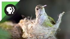 """While Male Anna's Hummingbirds sing during courtship and perform aerial display dives over their territories female Anna's Hummingbirds build their nests with plant fibers and use spiderwebs to """"make it all stick together"""" https://www.youtube.com/watch?v=MVOZ8tXl5Nc"""