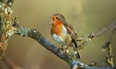 Country diary: Sandy, Bedfordshire: A robin's rumbustious overture to a pre-dawn chorus Love Birds, Beautiful Birds, 7 Continents, Robin Bird, Gods Creation, Wild Birds, Animals And Pets, Beatles, Butterflies