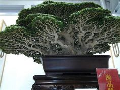 A Different perspective; underside showcasing ramification, series of dense branches & twigs #bonsai