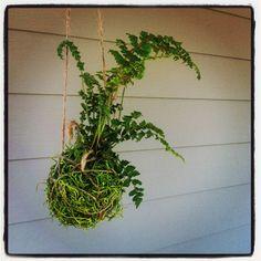 hanging moss ball fern