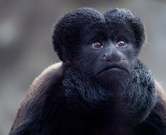 Southern Bearded Sakis Monkey