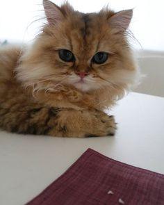 ぺるの歯が抜けた頃、 . (6ヶ月くらい)のお写真です。 .  まだあどけないのに、  大人みたいな表情をしています。  今は、大人なお顔で、  子供みたいなところがあります(^-^)。 猫さんは、歳を重ねる毎に、  別の可愛らしさを身につけていくのかもしれません。  素敵ですね♪ . .  #ネコ#ねこ#猫#アート #cats8lover#絵画 #美術展#ぺる #絵本#絵 #eclatcat  #チンチラゴールデン #愛猫#ペルシャ#本 #にゃんすたぐらむ  #art #happy  #culture#japan #lifestyle#exhibition  #follow#followme #cat#paris #love# #gallery#catstagram #andcateco