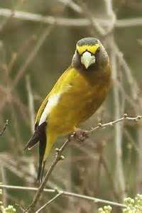 grosbeak bird pictures - Bing Images