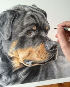 Almost there with this handsome fella, one more day ought to do it! #rottweiler #rottie