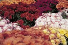 Ablestock.com/AbleStock.com/Getty Images--WHAT TO DO WITH POTTED MUMS AFTER THEY HAVE DIED OUT