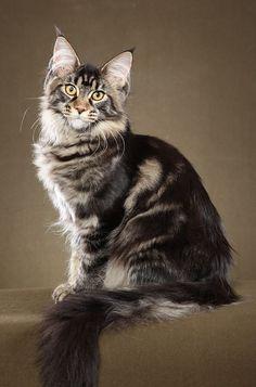 ✿ڿڰۣ(̆̃̃❤Aussiegirl  #Cats  Maine Coon Cat http://www.mainecoonguide.com/