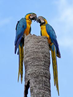 Wild blue & gold macaw Wild blue and yellow macaws